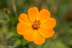 Cosmos sulfureux - Domaine des Oiseaux (Darth Jipsu) Tags: calmont france languedocroussillonmidipyrnes fr domaine des oiseaux mazre fleur couleurs cosmos rouge orange rose