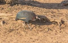 Crested Guineafowl_6939-20151020 (C&P_Pics) Tags: crestedguineafowl guineafowl kumasingahide mkuze pgc southafrica2015