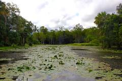 IMG_8152 (alexispadilla) Tags: travel australia queensland cairns nature pond marsh lilypads lilypond