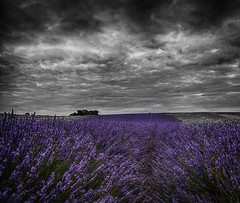 Dusk over the Lavender Fields (Matthew Bickham) Tags: lavender field hitchin purple
