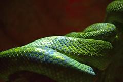 _SSR4651 the snake (Santiago Sanz Romero) Tags: snake serpiente culebra