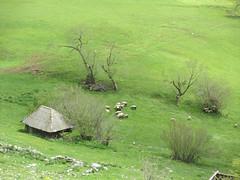 Farm and sheep at Vidikovac, Uvac Nature Reserve, Serbia (Paul McClure DC) Tags: serbia srbija uvac naturereserve balkans zlatibor vidikovac druinie may2016 scenery sheep animals architecture