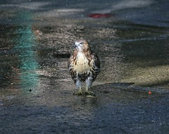 Hawk taking a shower (Goggla) Tags: nyc new york manhattan east village tompkins square park urban wildlife bird raptor red tail hawk fledgling juvenile bath bathing shower sprinkler