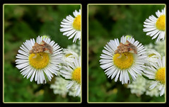 Phymata Pennsylvanica, Jagged Ambush Bug on Robin's Plantain Flower (Erigeron Pulchellus) 1 - Crosseye 3D (DarkOnus) Tags: phymata pennsylvanica jagged ambush bug robins plantain flower erigeron pulchellus pennsylvania buckscounty huawei mate8 cell phone 3d stereogram stereography stereo darkonus closeup macro insect crossview crosseye