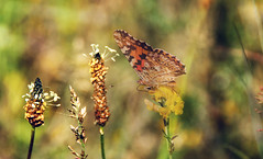 Summer with butterfly (augustynbatko) Tags: butterfly summer argynnis painted meadow flower flowers plant outdoor