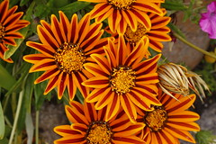 Tresco Abbey Gardens, Isles of Scilly (x70tjw) Tags: gardens tresco islesofscilly flower bloom