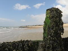 Bognor Regis (Dubris) Tags: england westsussex bognorregis seaside coast beach breakwater seaweed groyne