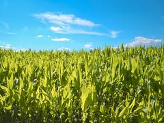 Cornfield (enneafive) Tags: cornfield corn sky blue green clouds light olympus omd em5 borgloon gotem limburg belgie belgique belgium nature agriculture horizon