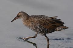 Water Rail / Vattenrall / Rallus aquaticus (G.Claesson) Tags: fgel sumphns vogel vattenrall waterrail rallusaquaticus crake varberg sverige sweden schweden