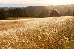 Amber waves (ZnE's Dad) Tags: oregon portland portlandor pdx country barn sunset wheat field pnw cascadia pacificnorthwest
