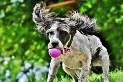 ~~La balle mauve....suite !~~ (Jolisa) Tags: hlna chien dog perro juillet2016 jeu game