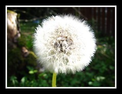 #Dandelion Clock#flower#garden#nature#green#weeds#weed#blowing#wish# (frankhimself) Tags: photography cannon cannonpowershot weed weeds plants garden colours white fluffy green flowers nature dandelions clock dandelion
