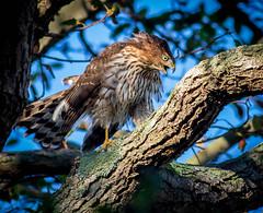 Coopers hawk - immature (www.JudyLindoPhotography.com) Tags: wwadingriver hawk judylindo photography judylindophotography newyork raptor kempfpreserve coopershawkimmature birds longisland