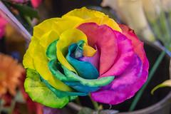 Rainbow rose at Granville Island Public Market (_32_6442) ([Rossco]:[www.rgstrachan.com]) Tags: britishcolumbia canada falsecreek falsecreekferries granvilleisland holiday mumanddad publicmarket vacation vancouver watertaxi