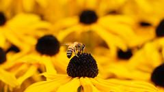The perfect camouflage (susie2778) Tags: sussexprairiegarden bee flower blackeyedsusan yellowflower olympus omdem1 60mmmacrof28