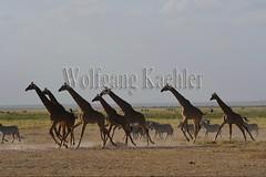 10076048 (wolfgangkaehler) Tags: 2016africa african eastafrica eastafrican kenya kenyan amboseli amboselikenya amboselinatlparkkenya amboselinationalpark wildlife mammal giraffe giraffes giraffacamelopardalistippelskirchi herd tower group burchellszebra burchellszebraequusquagga burchellszebras running galloping