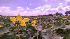 Cucumber Field ( ) Tags: dhaka cucumber field flower sky cloud sunlight bangladesh iampoor htcm8 htc