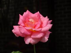DSC00639 (gregnboutz) Tags: flower bloomingflowers bloomingflower brightflowers colorfulflower colorfulflowers macro macros colorfulmacro colorfulmacros macroflower macroflowers macroroses macrorose pink pinkflower pinkflowers pinkroses pinkrose