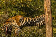 The Leap (keje2483) Tags: sumatrantiger southlakesanimalpark leap