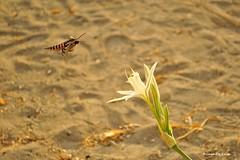 (*PanGea*) Tags: sfinge del convolvolo agrius convolvuli pancratium maritimum giglio di mare palmarola falena lepidottero