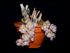 catasetum rebecca northen mikabi (Eerika Schulz) Tags: catasetum rebecca northen mikabi eerika schulz
