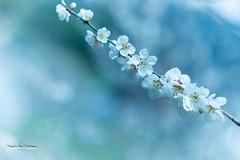 plum blossoms (chishou) Tags: blossoms plum ume  plumblossoms