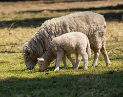 Lunch (Thonkus) Tags: cute wool animal nikon sheep farm sigma domestic lamb ewe