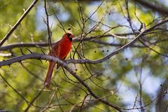 Cardinal (Wallace Flores) Tags: nyc spring nikon centralpark newyorkstate d4s