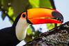 IMG_1599-2 (Herbert Schubart) Tags: birds toucan do ninho aves toco nortebrasildframphastidaeramphastostoco tucanuçu415namérica sulasa