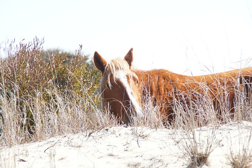 030615 Outer banks horses