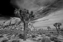 Joshua Tree NP BW (Joe Y Jiang) Tags: california west rock stone zeiss nationalpark spring desert joshuatree boulder american highdesert np lanscape yucca bloosm 2015 zf21 d800e