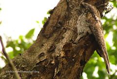 "Pajaro troncon  \Northern potoo\ ""Nyctibius jamaicensis"" (Erick Giovanni Hernandez Torres) Tags: naturaleza aves birdwatcher northernpotoo nyctibiusjamaicensis urutau"