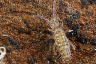 Entomobrya multifasciata juvenile