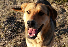 Dunkan's Smile ^^ (Cazadora de Fotos) Tags: life friends dog naturaleza sun cute love luz dogs beautiful smile animals atardecer happy photography big nice eyes moments afternoon shepherd retrato natura perro paseo ojos german grandes campo ligth perros animales sonrisa monte lovely cruces hybrid pastor mothernature tarde cruce momentos bets aleman mejor domesticus mejores fotografa paseando mestizo hybrids contento pastoraleman mestizos hybridos