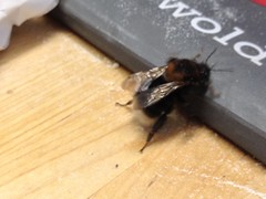 Here is what looks like a Queen tree bumble bee - Bombus Hypornum.  She was found in the downstairs bathroom this morning, before being placed back outside