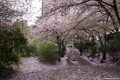 Spring in Vancouver (Zorro1968) Tags: trees urban plants vancouver spring path sidewalk vegetation cherryblossom