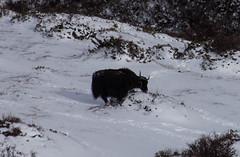 yak enneigé