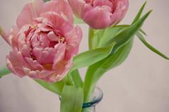 Tulips (neueliebeyokohama) Tags: pink flowers vintage spring nikon tulips clean tabletop springtime lightroom d90 presets cleanvintage