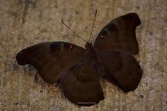 Schmetterling Butterfly Papillon >unknown< (BonsaiTruck) Tags: butterfly papillon unknown falter schmetterling unbekannt tagfalter emsflower emsbren schmetterlingswelt