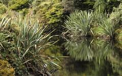 Pointed Green (Tones Corner) Tags: reflection green westcoast flax nzscene nzscenery nzbeauty nativenzbush