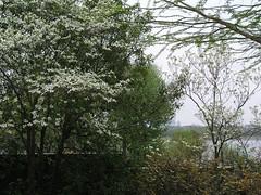 Early Spring at the Arboretum - 2015 (gttexas) Tags: flower dallas texas tx arboretum dogwood 2015