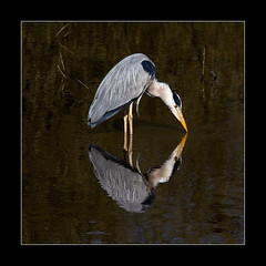 Narcissistic kiss (tkimages2011) Tags: reflection heron water kiss sthelens narcissus merseyside carrmill
