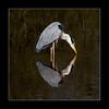 Narcissistic kiss (tkimages2011) Tags: reflection heron water kiss sthelens narcissus merseyside carrmill