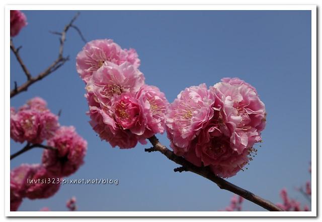 여의도벚꽃23