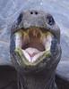 "open wide and say ""ahhhhhhh"" (ucumari photography) Tags: sc animal south columbia carolina april riverbankszoo 2015 specanimal galápagostortoise ucumariphotography dsc1076 chelonoidisnigra"