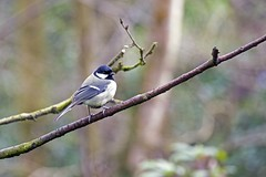 Great tit (_K311222) ([Rossco]:[www.rgstrachan.com]) Tags: bird nature scotland tit fife wildlife great glen dunfermline pittencrieffpark