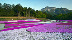 (DigiPub) Tags: travel mountain flower tourism japan horizontal forest landscape outdoors photography sold editorial multicolored onsale springtime gettyimages nisi lifestyles  2015   traveldestinations colorimage gnd   mossphlox saitamaprefecture   hitsujiyamapark unrecognizableperson mtbuko chichibusaitama   m20150502  557696585 o20150603 mossphloxsubulata sale201506