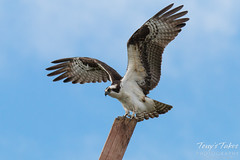 Male Osprey landing sequence - 9 of 13