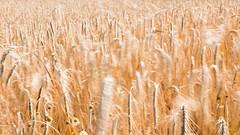 Rauschen im Korn (Sonne 2208) Tags: wind sommer braun korn kornfeld unschrfe