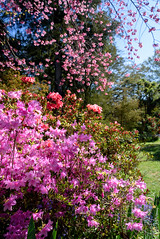 Many Shades of Wonderful Pink (Jocey K) Tags: flowers trees newzealand christchurch sky spring shadows lawn rhododendron azalea ilamgardens